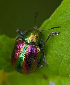 Dogbane Leaf Beetle In Rainbow Hues by aeschylus18917, via Flickr