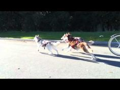 Urban Mushing with the Husky Pack - YouTube