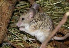 Mouse-like hamster