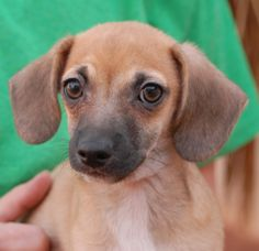 """Monroe, baby boy -- 1 of 5 """"Fairy Tale Puppies"""" debuting for adoption.  More pictures & information: http://nevadaspca.blogspot.com/2014/01/the-fairy-tale-puppies-debut-for.html"""