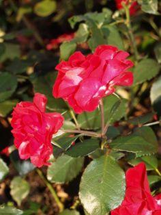 Punainen ruusu, Marketanpuisto