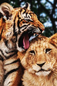 Superior Luxury — draftthemes: envyavenue: Lion Cub, Tiger Cub by. Nature Animals, Animals And Pets, Wild Animals, Beautiful Cats, Animals Beautiful, Beautiful Pictures, Gato Grande, Exotic Pets, Cute Baby Animals