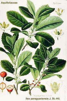 Ilex paraguensis / Hierba mate