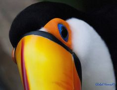 Toco Toucan - photo by Global Nomad1