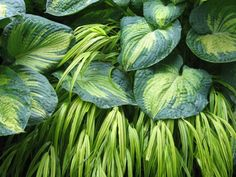 Hosta 'Great Expectations' w Hakone 'Aureola' - pic by Rick Goodenough -