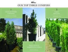 White Spruce, English Roses, Accent Pieces, Infographic, Bulb, Advice, Shades, Gardening, Board