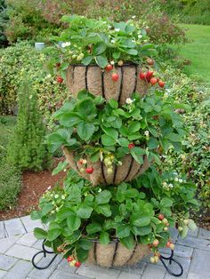 7 Simple Tips for Growing Strawberries Strawberries can be grown in a planter instead of a garden bed. Master Gardeners recommends planter dimensions of 6 to 8 deep by 5 to 7 wide by 18 to 4 long with plants spaced 10 to 14 apart. Strawberry Beds, Strawberry Garden, Fruit Garden, Edible Garden, Garden Planters, Garden Beds, Strawberry Tower, Strawberry Planters Diy, Planters Flowers