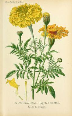 gravures fleurs de jardin - gravure de fleur de jardin 0301 rose d inde - tagetes erecta - Gravures, illustrations, dessins, images