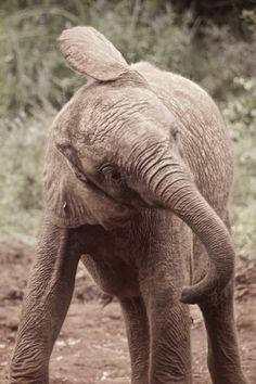 Elephant Calf in Kenya