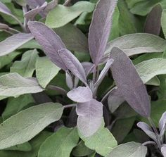 Salbei - Ratgeber: Zierpflanze, Gewürz und Heilkraut