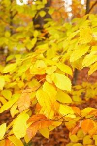 Identification of Beech Tree Leaves thumbnail