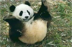 have fun http://cdn.blogosfere.it/tempolibero/images/panda-wwf-roma.jpg