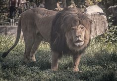 Lion King  by expertpix on 500px