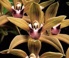 Cymbidium Aldaniti 'Andy' - Orchid Council of New Zealand Inc.