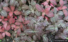 fittonia verschaffeltii – mosaic plant, nerve plant  fittonias are commonly known as mosaic plant or nerve plant. there is a wide range of cultivars with a colorful fooliage available. fittonia verschaffeltii is native to peru.  CARE  fittonia verschaffeltii grows best if located bright and protected from direct sun. but it's also suitable for light shaded to shaded positions.  it can be planted in a regular potting mix. keep it evenly moist but not wet, sitting in water can cause rot. the…