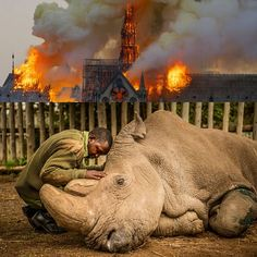 How come we can raise 1 billion dollars in 2 days for the reconstruction of the Notre Dame in Paris, but no one blinks an eye when there's a threat that the Nothern White Rhino is about to go extinct? 1 Billion Dollars, Climate Change, Notre Dame, Wildlife, Rhinos, Extinct, Paris, Canning, Eyes
