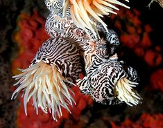 Striped colonial anemones from East Timor