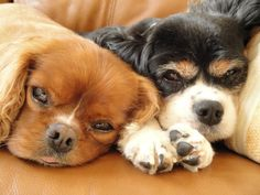 Most Dashing Dog entrants: Alf (left) 8 year old Cavalier King Charles Cocker Spaniel & Jack (right) 14 year old Cavalier King Charles Cocker Spaniel, both live with Sharon in Surrey.