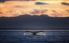 Humpback Whale during Sunset - A Humpback Whale for Ketchikan, Alaska during Sunset.