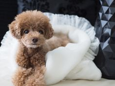 ☆toy poodle / dog