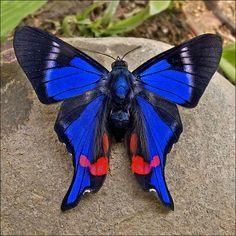 """Rhetus periander, una mariposa increíble"""
