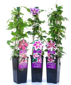 Clematis is the queen of climbing plants! What is truly great about these climb. Clematis is the q Clematis Care, Clematis Trellis, Clematis Plants, Garden Bulbs, Garden Plants, House Plants, Plant Cuttings, Garden Yard Ideas, Garden Landscaping