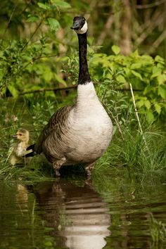 "But Mom wait, see that big white bird and little baby - can we go say ""HI"" - huh? THE CUTE DUCKLING"