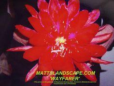 Epiphyllum hybrid 'Wayfarer'