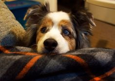 Photo by D. Rubin /   My Australian Shepherd Cody: Begging for a snack at 16 years -old