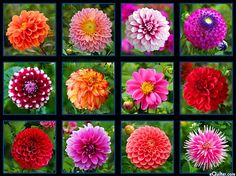 "Dahlia Garden - Bloom Lattice - 24"" x 44"" PANEL - DIGITAL PRINT"