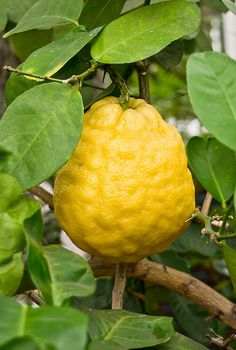 Ponderosa Lemon, a bumpy skinned citrus with a typical lemon like flavor. The matured fruit is large usually weighing between 2-4 lbs