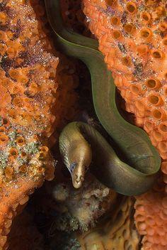 Green Moray - Jervis Bay | Flickr - Photo Sharing!