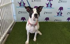 Equal Opportunity, Animal Welfare, Animal Rights, Orange County, The Fosters, Boston Terrier, Dog Cat, Adoption, Pets