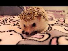 How to Pick Up and Hold a Hedgehog - YouTube I seriously love this video to death. THIS VIDEO IS SO DANG YES