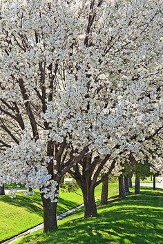 A blooming spring tree makes a beautiful natural abstract. I love the seasons!