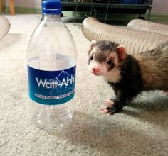 Fondue the Ferret loves Watt-Ahh®! #ferrets #water