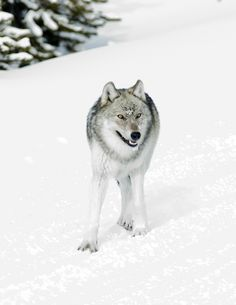 h4ilstorm:  wolf (by rwtrent)