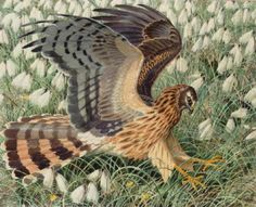 Hen harrier by Charles Frederick Tunnicliffe
