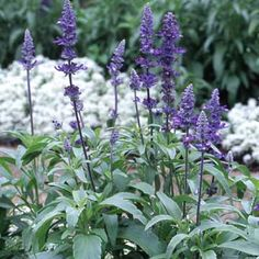 Mealycup Sage - Salvia Farinacea is usually treated as an annual in northern climates. It is upright and bushy, its stems coated with a white meal. Dense spikes of blue or white flowers bloom from summer into fall. Deer Garden, Mailbox Garden, Autumn Garden, Summer Garden, Best Perennials, Flowers Perennials, Purple Flowers, White Flowers, Cottage Garden Plan