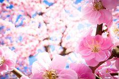 ume '12 - plum blossoms #10 (Jyounangu shrine, Kyoto) by Marser, via Flickr