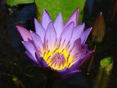 Purple Lotus, Sarasbaug, Maharshtra