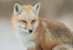Red Fox by Harry Collins - National Geographic Your Shot