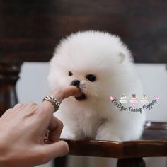 "Képtalálat a következőre: ""(Luxury Micro Teacup Puppy"" Dog Quotes Funny, Funny Dogs, Micro Teacup Puppies, Teddy Bear, Puppys, Luxury, Animals, Silly Dogs, Animales"