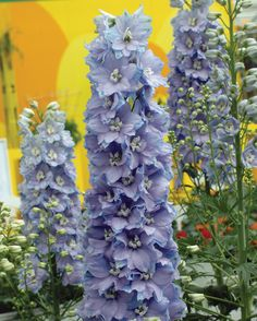 Delphinium is another perennial that I REALLY want to add this year! And I LOVE this colour! Flowering Shrubs For Shade, Shade Shrubs, Amazing Flowers, Beautiful Flowers, Night Blooming Flowers, Happy Birthday Flower, 60th Birthday, Birth Month Flowers, Unique Roses