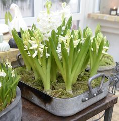 From Claus Dalbys Greenhouse, Denmark. Visit his blog - www.clausdalby.dk