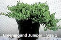 Green Mound Juniper (procumbens nana) is a very low growing groundcover juniper with rigid, bright green foliage. Very hardy, and a great bonsai and topiary subject.