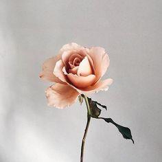 Ideas for plants aesthetic tattoo Peach Aesthetic, Flower Aesthetic, Aesthetic Grunge, Aesthetic Images, Aesthetic Plants, Aesthetic Pastel, Dark Rose, Aesthetic Tattoo, Rose Tyler
