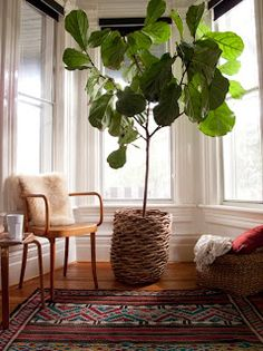 Fiddle Leaf Fig-love and want one as the perfect finishing touch to a reading nook.