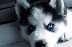 Pomsky; Pomeranian and Siberian Husky FAQ's - Size, Price, Pedigree, Diet…