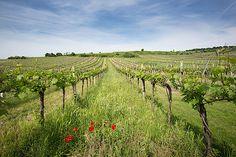 Weingarten am Wagram